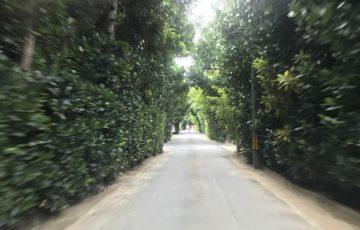 備瀬のフクギ並木の写真