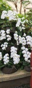 海洋博物熱帯亜熱帯都市緑化植物園の白い蘭