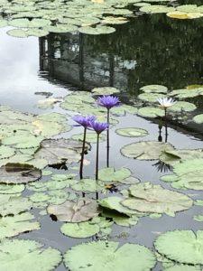 沖縄海洋博公園熱帯亜熱帯都市緑化植物園の睡蓮